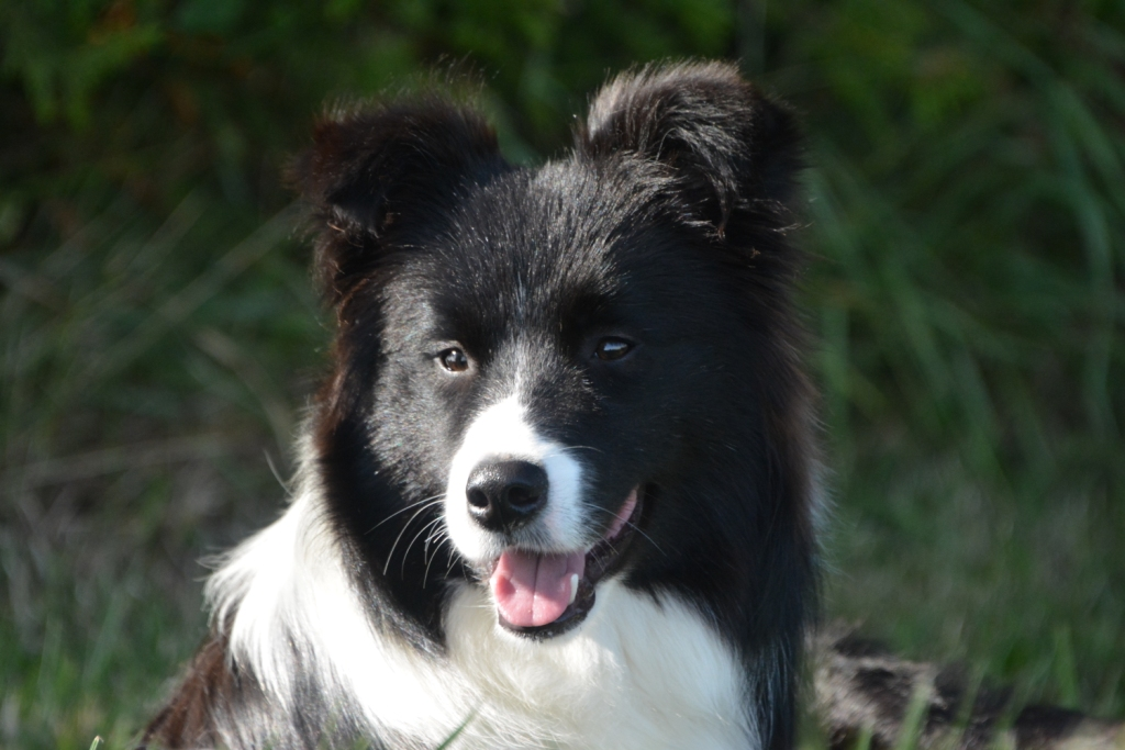 GraceCanis Border Collies